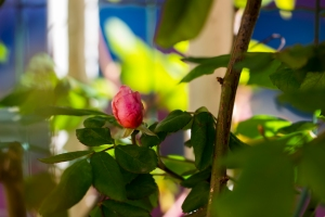 video-le-jour-ou-je-vis-ta-rose-lightroom-2-10