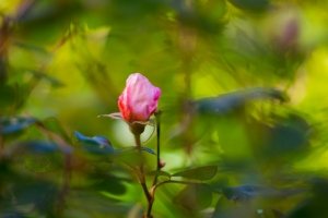 video-le-jour-ou-je-vis-ta-rose-lightroom-2-12