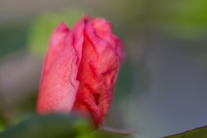 video-le-jour-ou-je-vis-ta-rose-lightroom-2-13
