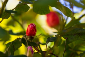 video-le-jour-ou-je-vis-ta-rose-lightroom-2-17