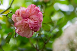 video-le-jour-ou-je-vis-ta-rose-lightroom-2-19