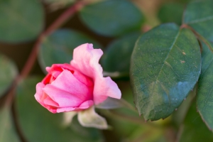 video-le-jour-ou-je-vis-ta-rose-lightroom-2-2