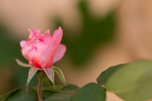 video-le-jour-ou-je-vis-ta-rose-lightroom-2-3