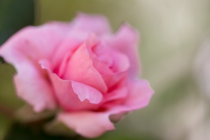 video-le-jour-ou-je-vis-ta-rose-lightroom-2-4